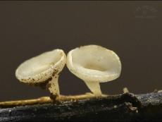 Hymenoscyphus albidus3