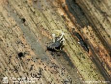 Hymenoscyphus_fructigenus_3