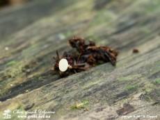 Hymenoscyphus_fructigenus_4