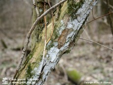 Hyphodontia sambuci(Pers.) J. Erikss., 1958 (Syn.: Hyphoderma sambuci(Pers.) Jülich, 1974)
