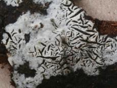 Hypochnicium geogenium1