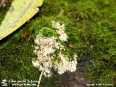 Kavinia himantia(Schwein.) J. Erikss., 1958 (Syn.: Hydnocristella himantia(Schwein.) R.H. Petersen, 1971)