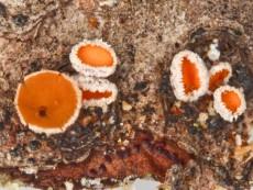 Lachnellula calyciformis1
