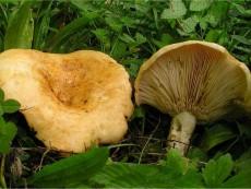 Lactarius acerrimus1