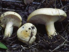 Lactarius aspideus2