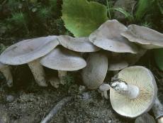 Lactarius mammosus2