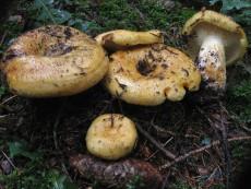 Lactarius scrobiculatus2