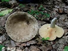 Lactarius azonites / Хрящ-молочник беззоновий