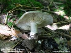 Lactarius_circellatus_14