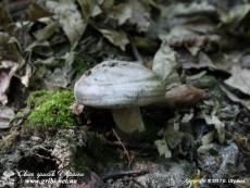 Lactarius_circellatus_16