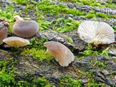 hohenbuehelia atrocaerulea