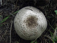 Agaricus pseudopratensis2