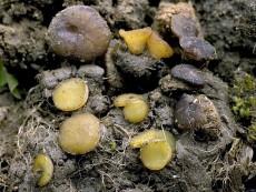 Ascobolus viridis2
