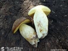 Butyriboletus_appendiculatus_12