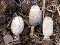 Coprinus sterquilinus