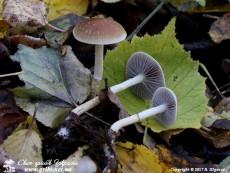 Leratiomyces_squamosus_7