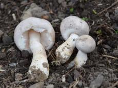 Leucoagaricus carneifolius