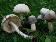 Leucoagaricus carneifolius3
