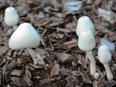 Leucocoprinus cepistipes2
