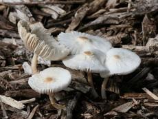 Leucocoprinus cepistipes3