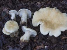 Leucopaxillus paradoxus3
