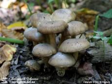Lyophyllum_decastes_0