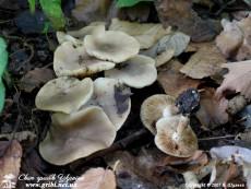 Lyophyllum_decastes_1