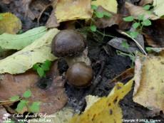 Lyophyllum_decastes_6