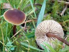 Macrocystidia cucumis1