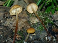 Marasmius cohaerens