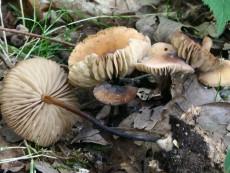 Marasmius cohaerens1
