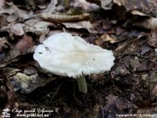 Megacollybia_platyphylla_3