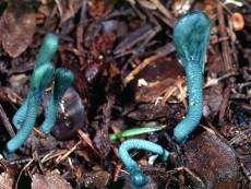 Microglossum Viride1