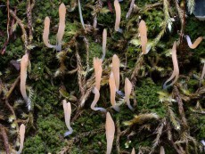 Multiclavula vernalis