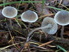 Mycena cinerella2