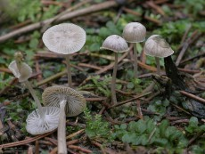 Mycena cinerella3