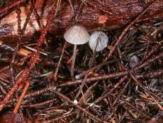 Mycena galopus1