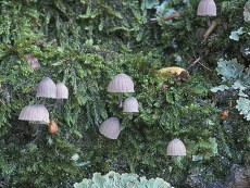 Mycena pseudocorticola3