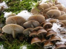 Mycena tintinnabulum1