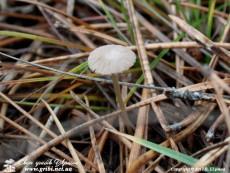 Mycena vulgaris / Міцена звичайна