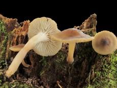 Neolentinus adhaerens2