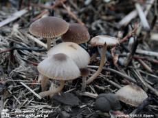 Panaeolina foenisecii / Панеоліна сінокосна