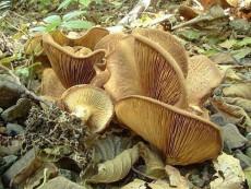 Paxillus filamentosus3