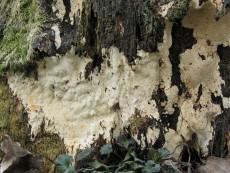 Perenniporia medulla-panis