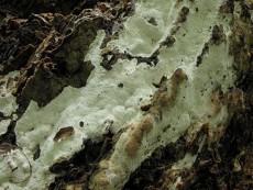 Perenniporia medulla-panis1