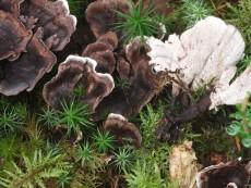 Phellodon melaleucus1