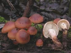 Pholiota astragalina2