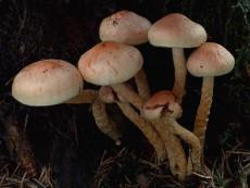 Pholiota astragalina3