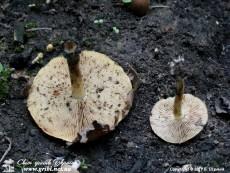Pholiota_highlandensis_12