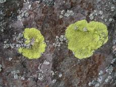 Pleopsidium flavum3